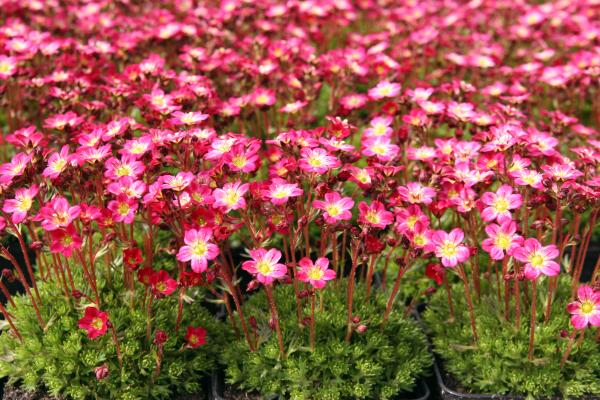 Saxifraga arendsii 'Red Cup'